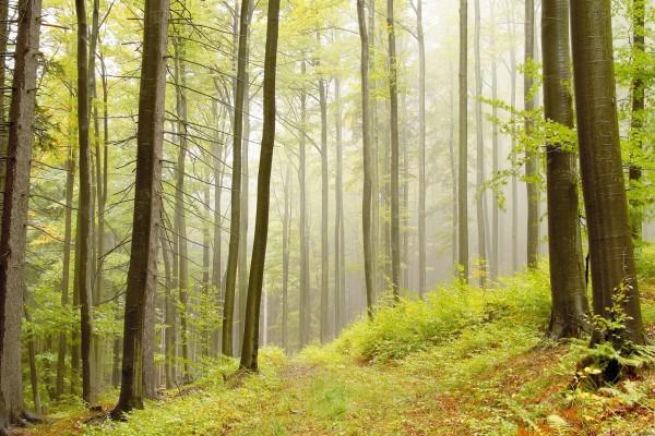 alder trees forest