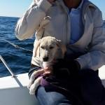 Barco recolhe Labrador que nadava desesperado em alto mar