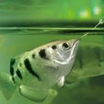Um peixe pode fazer reconhecimento facial?