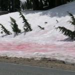 No Árctico o gelo está a ficar cor-de-rosa. Saiba porquê!