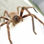 O que faria se visse uma aranha a transportar um rato?