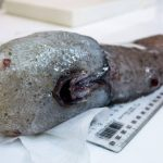 """""""Peixe sem cara"""" não era visto há mais de um século"""