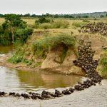 Para bem do ecossistema milhares de gnus morrem todos os anos