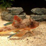Peixe com pernas surpreende e deixa dúvidas a cientistas