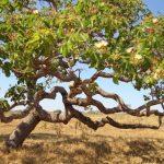 Árvore da morte, a árvore mais perigosa de todo o mundo