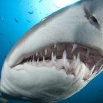 Dentículos de tubarão ajudam aviões e carros a ser mais rápidos