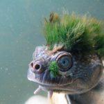 Tartaruga punk, que respira pelo rabo, ameaçada de extinção