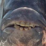 Peixe com 'dentes humanos' é pescado na Carolina do Sul