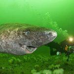 Tubarão com 512 anos foi encontrado na Gronelândia