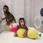 A China clonou os primeiros macacos da história