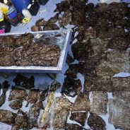 Baleia morre na Tailândia após engolir 80 sacos de plástico