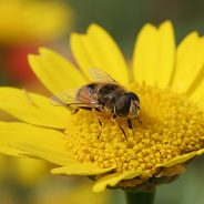 As abelhas são declaradas o ser mais importante do planeta, mas estão a morrer