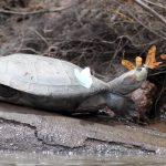 Vídeo impressionante mostra borboletas a beber lágrimas de tartaruga