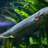 Cocaína encontrada no rio Tamisa causa hiperatividade nas enguias